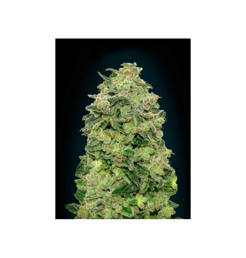 AUTO AFGHAN SKUNK ADVANCED SEEDS 3 UND