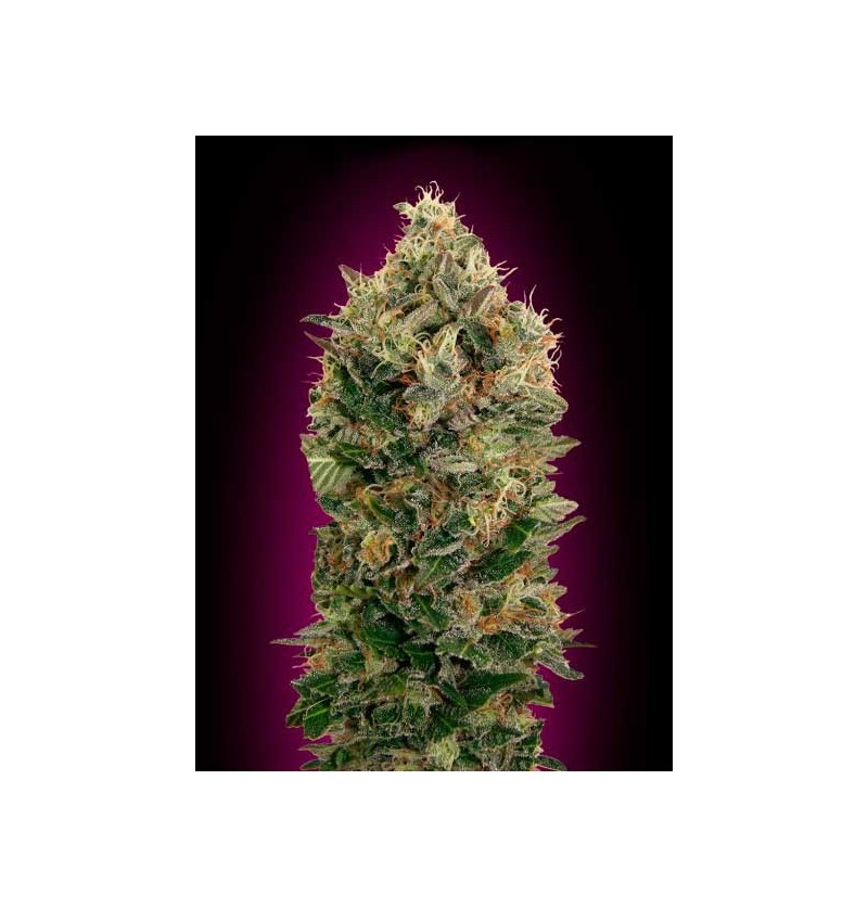 AUTO BLACK DIESEL ADVANCED SEEDS 3 UND