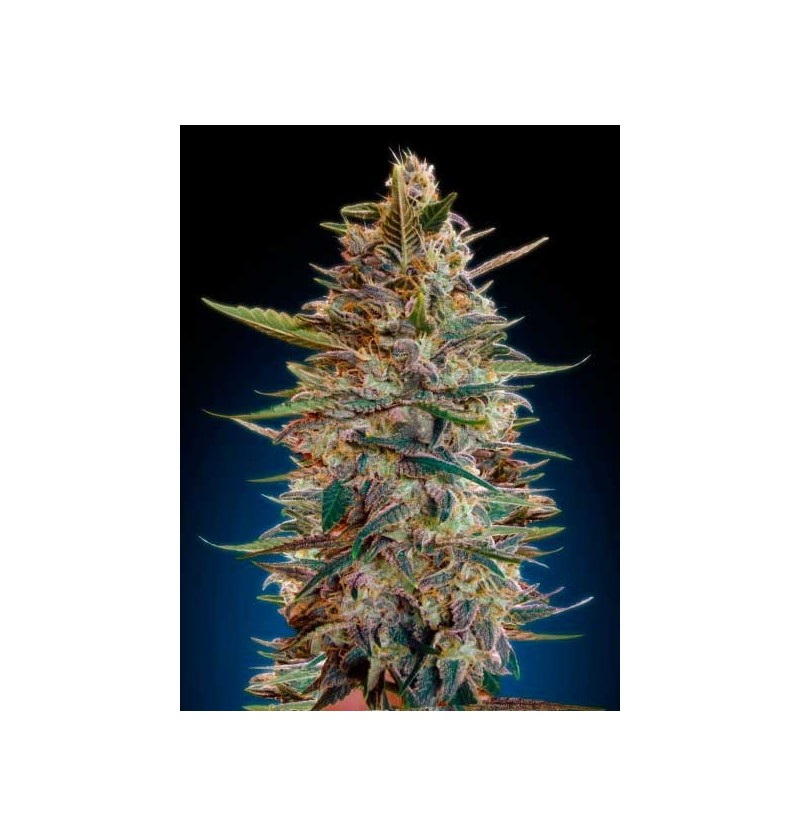 AUTO BLUE DIESEL ADVANCED SEEDS 1 UND