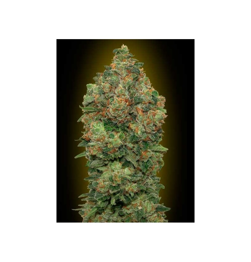 AUTO CRITICAL SOMA ADVANCED SEEDS 3 UND