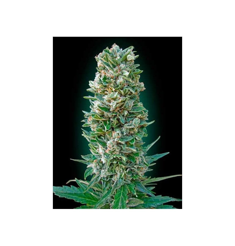 AUTO HEAVY BUD ADVANCED SEEDS 10 UND