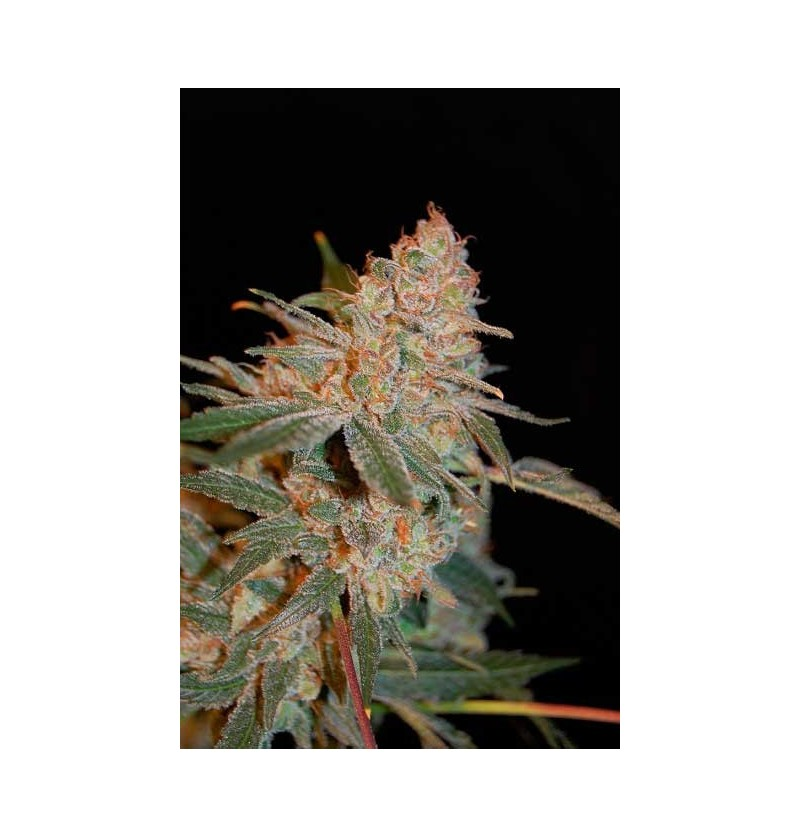 BLACK DIESEL ADVANCED SEEDS 10 UND