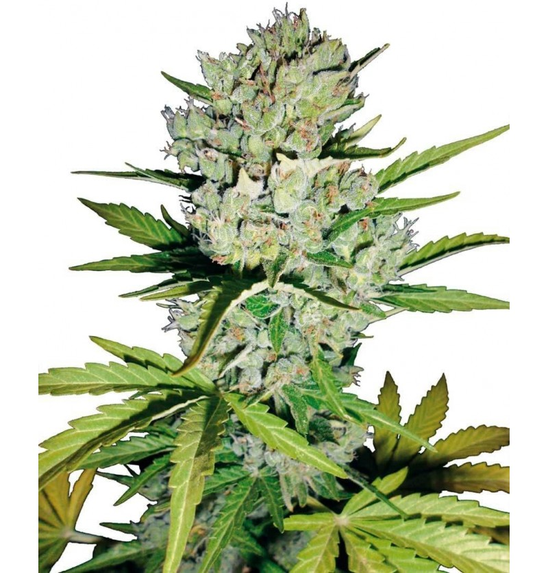 SUPER SKUNK AUTO SENSI SEEDS 3UN