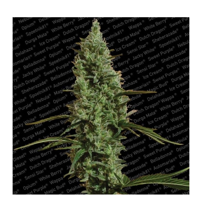 ATOMICAL HAZE  PARADISE SEEDS 3UN