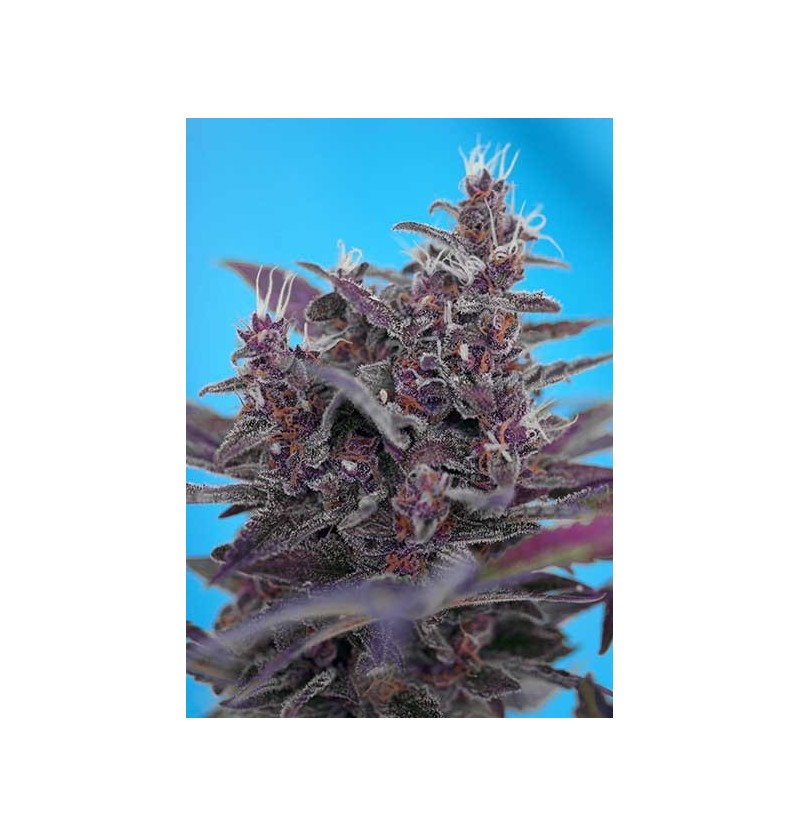 BLACK CREAM AUTO SWEET SEEDS 3UN