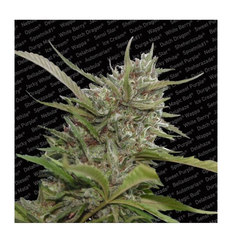 AUTO WHITE BERRY PARADISE SEEDS 10UN