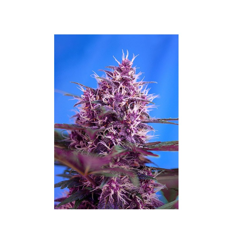 RED POISON AUTO SWEET SEEDS 3UN