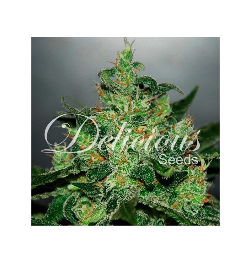 CRITICAL  JACK HERER (AUTOMATIC LINE) DELICIOUS 1UN