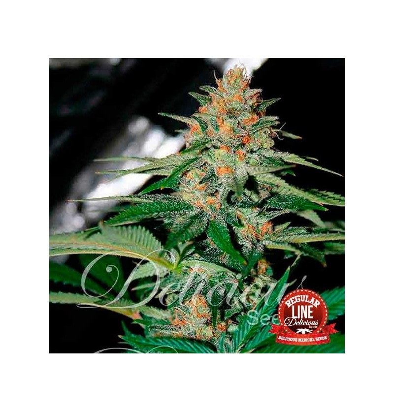 DESCONOCIDA KUSH (REGULARES) DELICIOUS 7UN