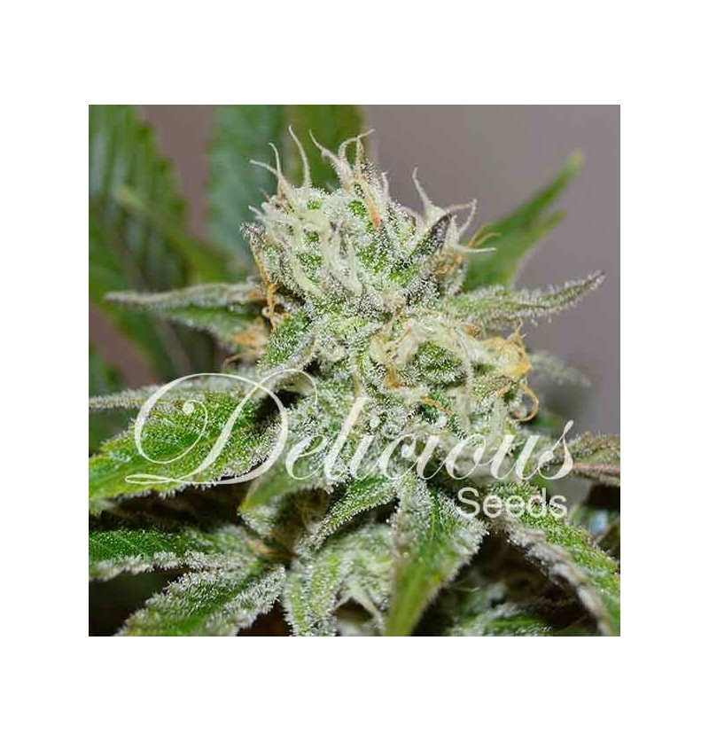 ORIGINAL JUAN HERER (SATIVA LINE) DELICIOUS 5UN