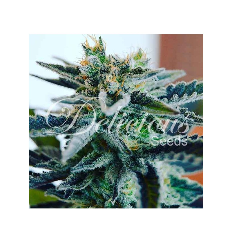 SUGAR BLACK ROSE (INDICA LINE) DELICIOUS 3UN