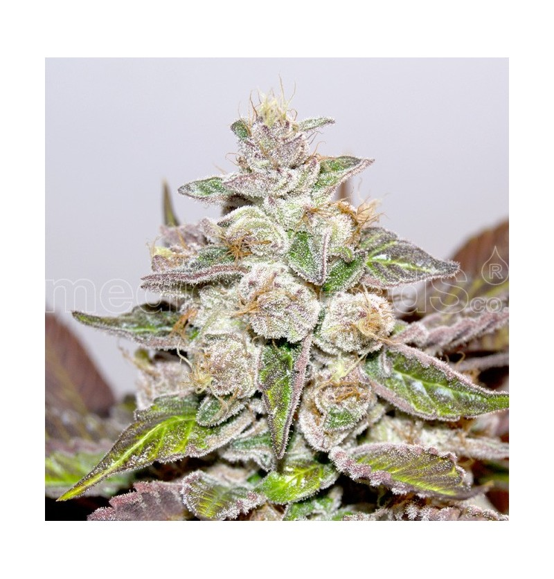 MENDOCINO X PURPLE KUSH MEDICAL SEEDS 10UN