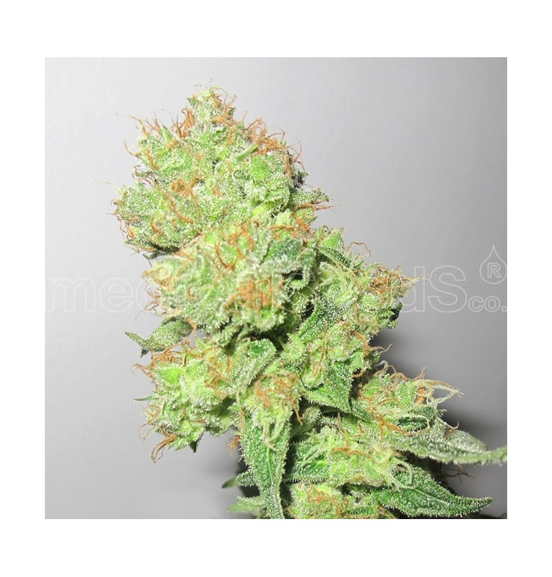 Y GRIEGA CBD MEDICAL SEEDS 3UN