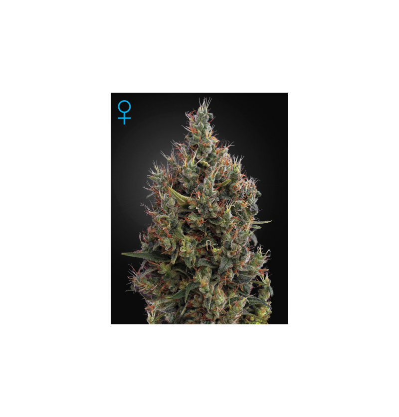 BIG BANG AUTO FLOWERING GREEN HOUSE 5UN