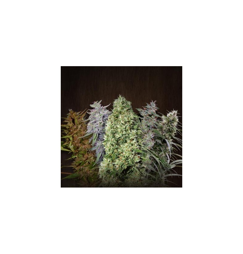 ACE MIX ACE SEEDS REGULARES 5UN