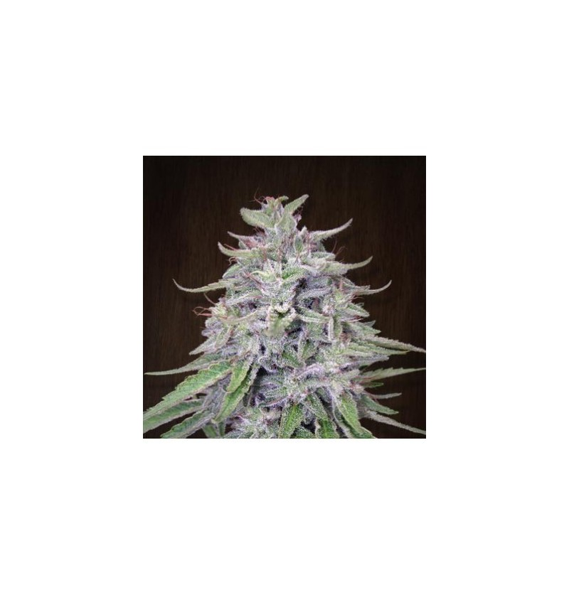 BANGI HAZE ACE SEEDS REGULARES 5UN