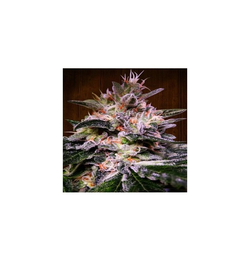 BUBBA HASH ACE SEEDS 3UN