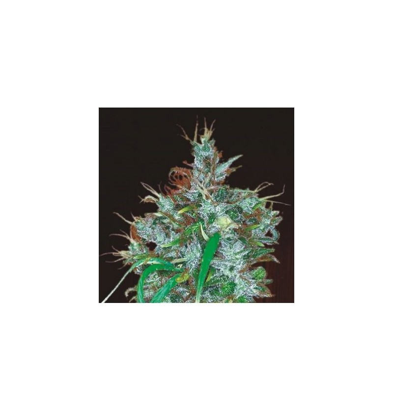 PANAMA HAZE ACE SEEDS 3UN