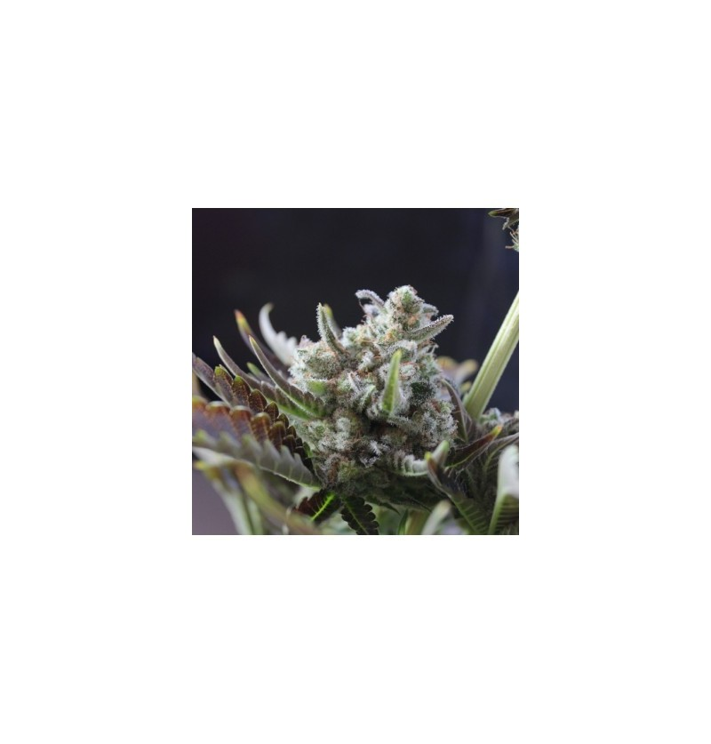 STICKY WONDER BCN SEEDS 3UN