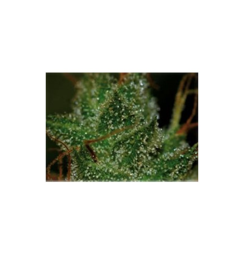 SUPER SILVER HAZE 98 BCN SEEDS 1UN