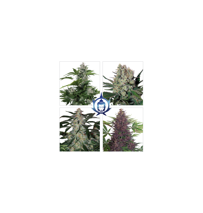 ASSORTED AUTO BUDDHA SEEDS 50UN