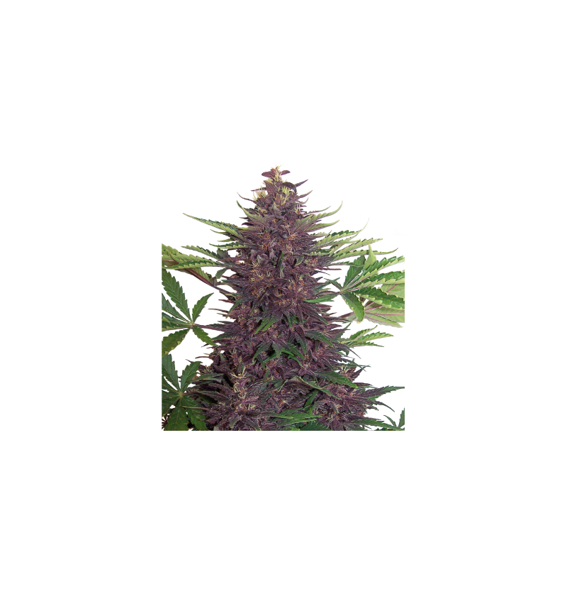 PURPLE KUSH AUTO BUDDHA SEEDS 3UN