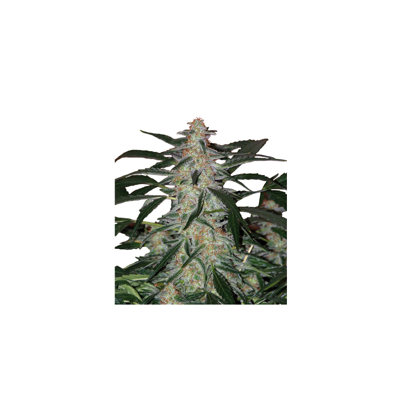 DEIMOS AUTO REGULARES BUDDHA SEEDS 10UN