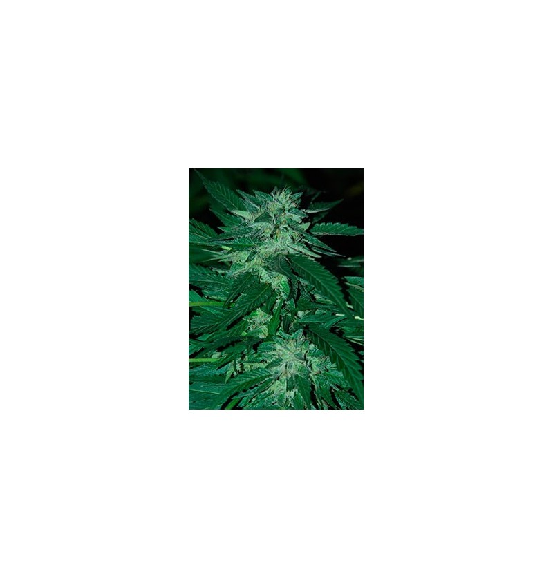 BUBBA DELIGHT CANNABIOGEN 10UN