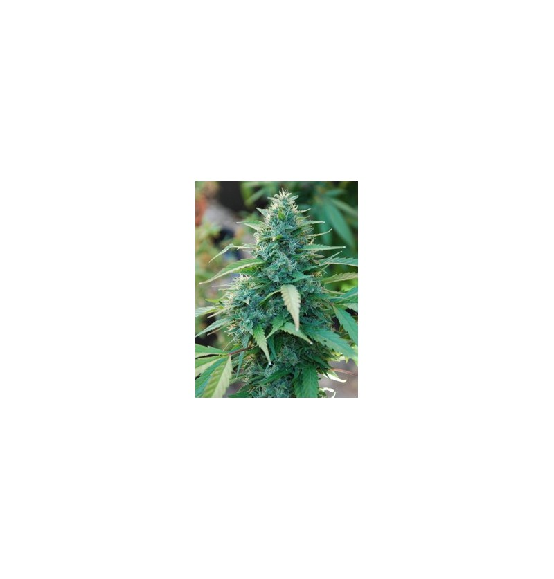 CARIBE CANNABIOGEN REGULARES 5UN