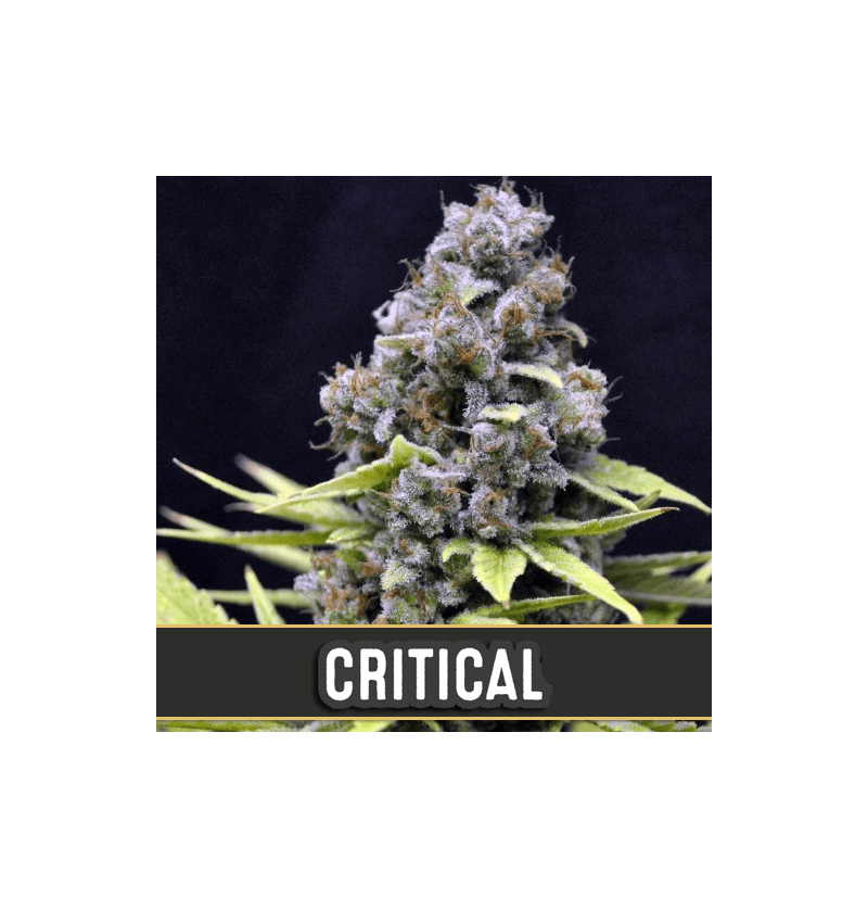 CRITICAL AUTO BLIMBURN SEEDS 6UN