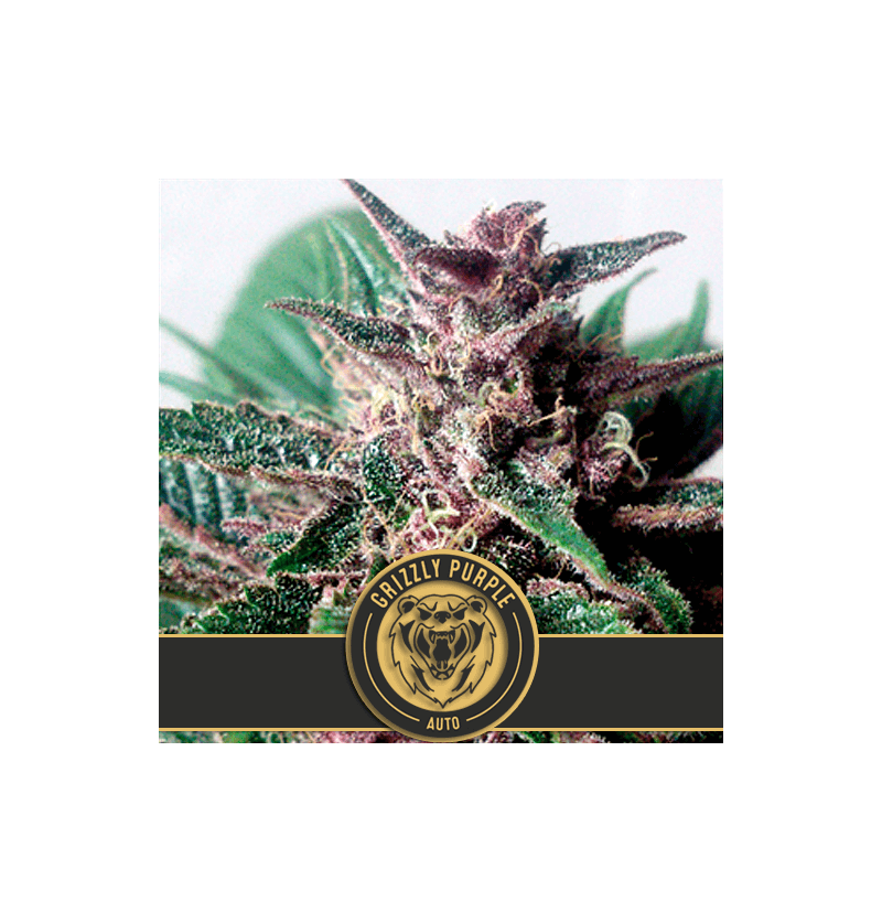 GRIZZLY PURPLE AUTO BLIMBURN SEEDS 9UN