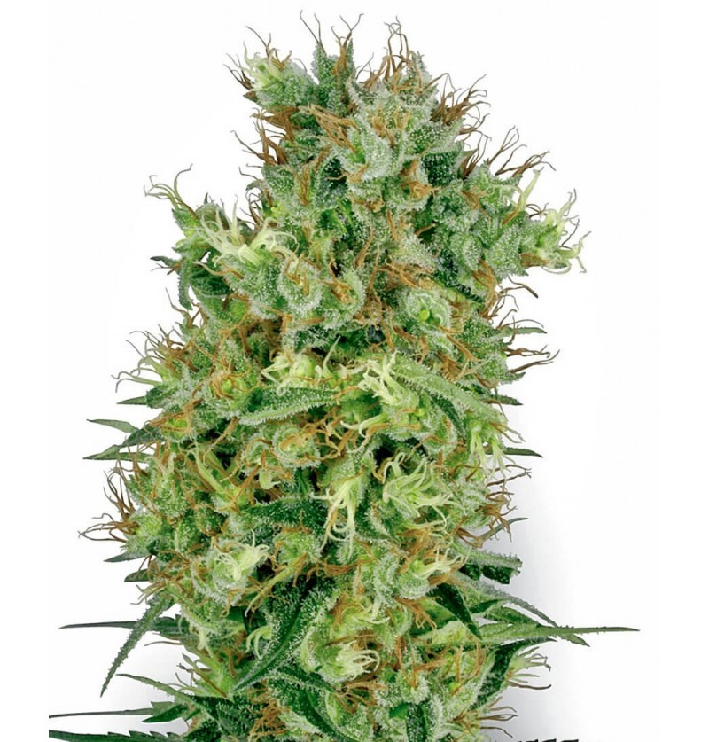 CALIFORNIA ORANGE BUD SENSI WHITE LABEL REGULARES 10UN