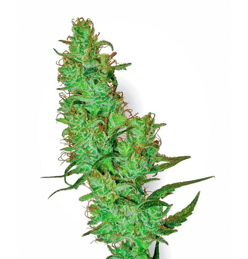 JACK HERER SENSI WHITE LABEL REGULARES 10UN