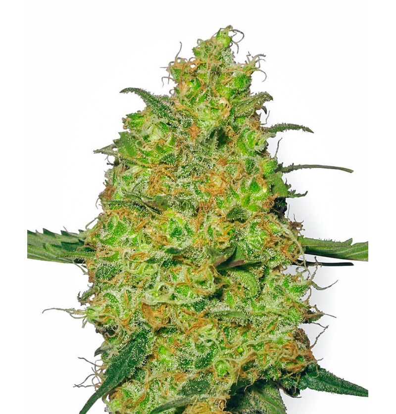 MASTER KUSH SENSI WHITE LABEL REGULARES 10UN