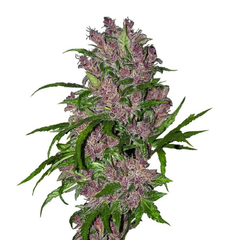 PURPLE BUD AUTOMATIC SENSI WHITE LABEL 3UN