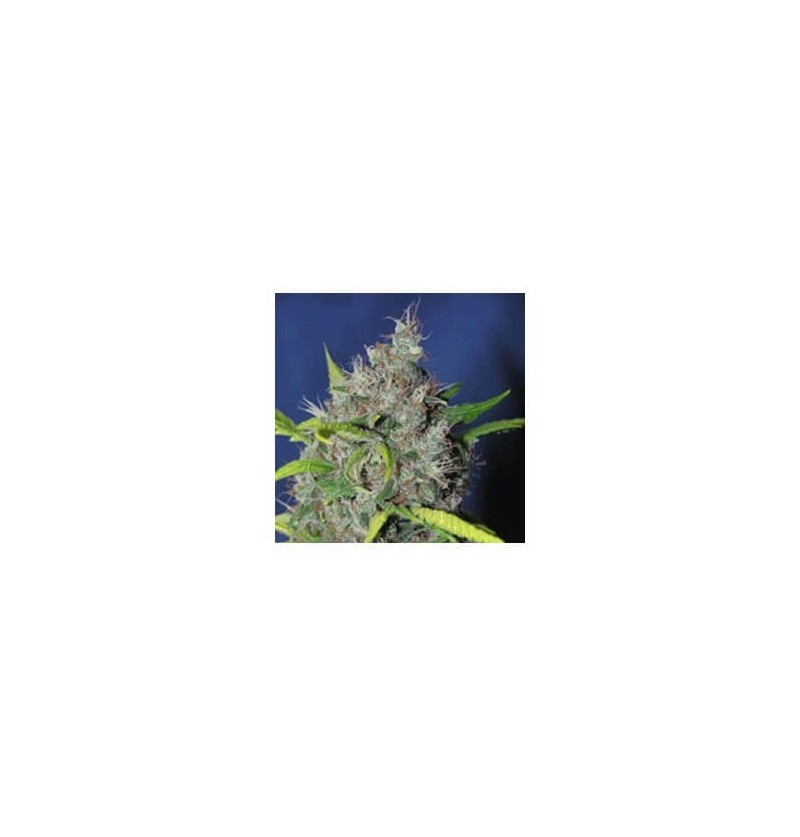 BLUEBERRY BUD SAGARMATHA REGULARES 10UN