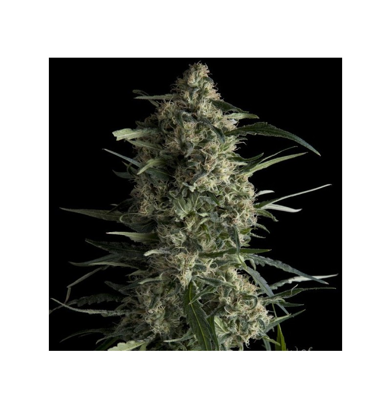GALAXY PYRAMID SEEDS 3UN