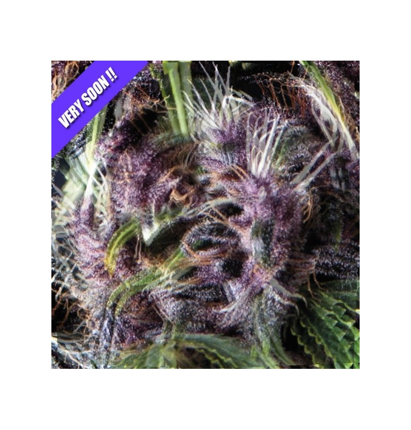 PURPLE PYRAMID SEEDS 3UN