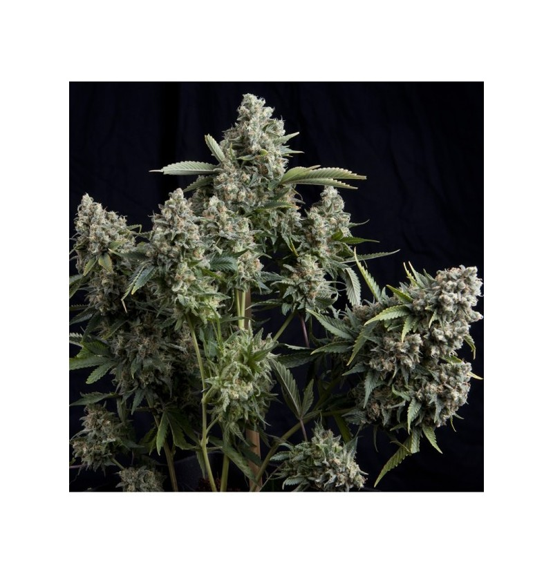 TUTANKHAMON PYRAMID SEEDS 3UN