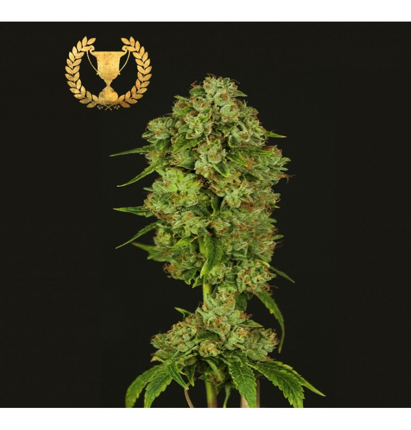 CASEY JONES DEVILS HARVEST SEEDS REGULARES 10UN