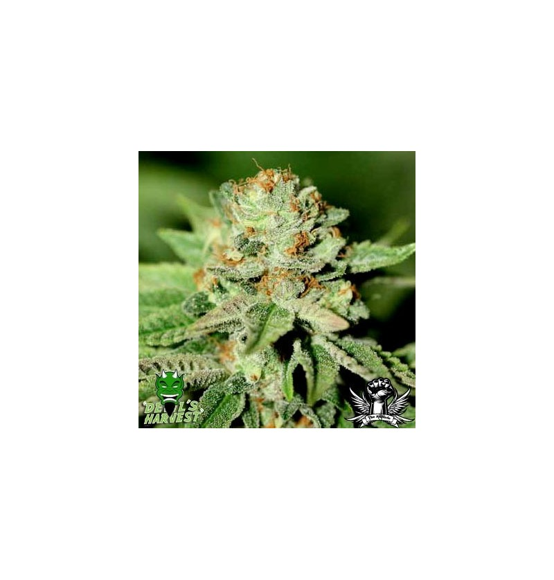 CHIESEL DEVILS HARVEST SEEDS REGULARES 10UN