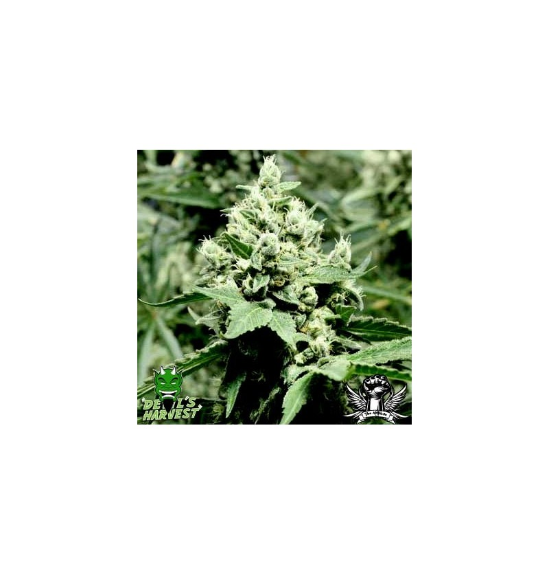DEVIL'S DAWG DEVILS HARVEST SEEDS REGULARES 10UN