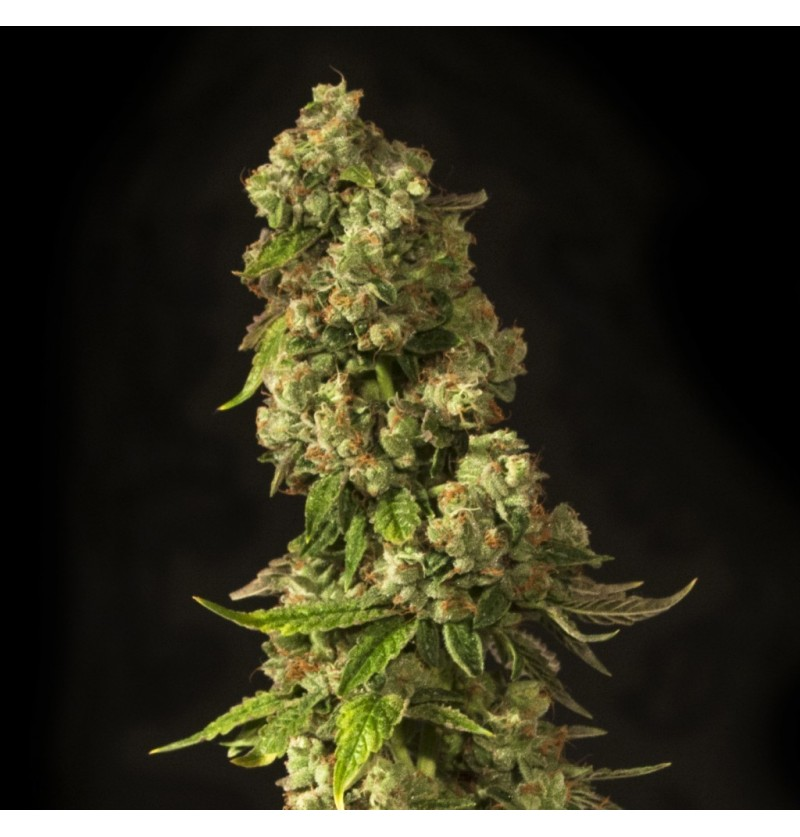JOHN DOE DEVILS HARVEST SEEDS REGULARES 10UN