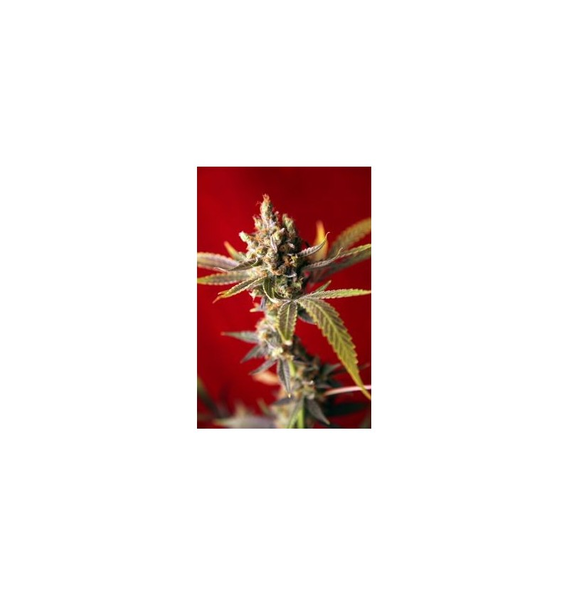 DUB REGGAE SEEDS REGULARES 7UN