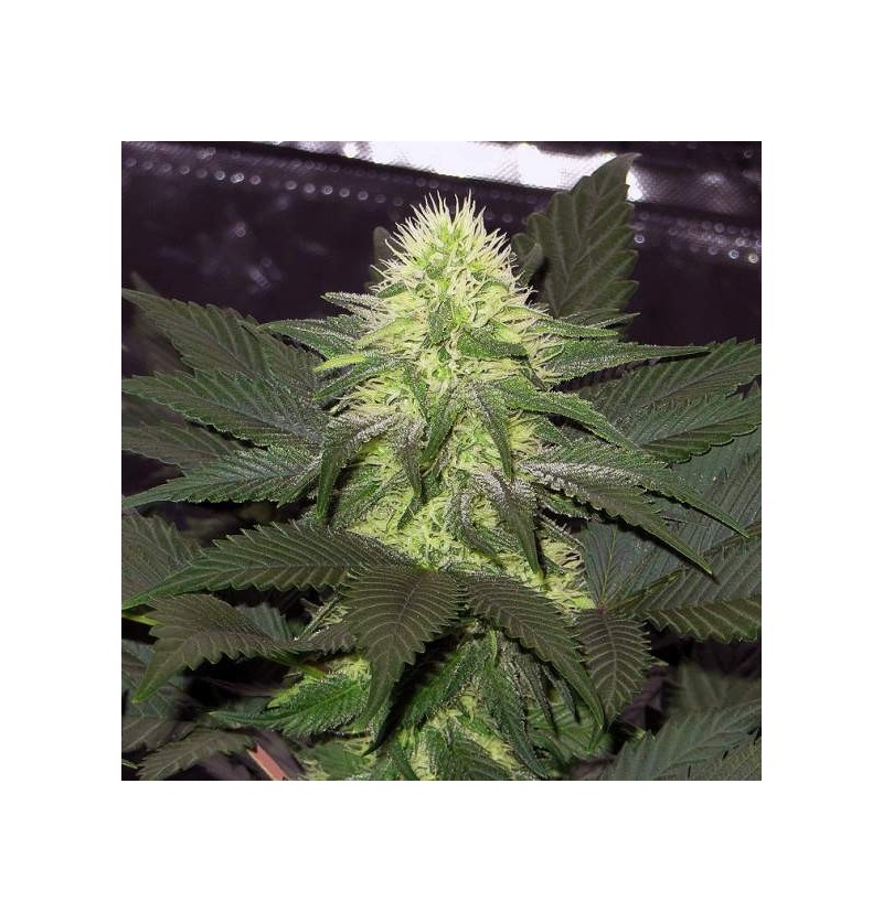 BLACKBERRY NIRVANA SEEDS 3UN