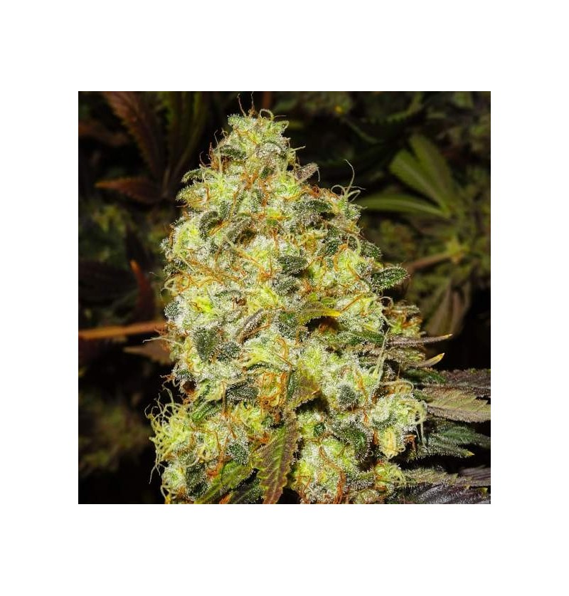 ICE NIRVANA SEEDS 10UN