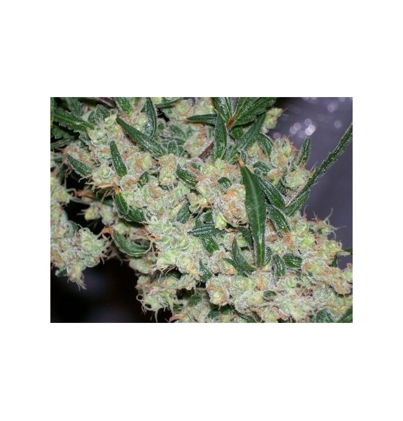 AFGHAN SKUNK X AFGHAN HAZEMR NICE LIMITED EDITION REGULARES 15UN