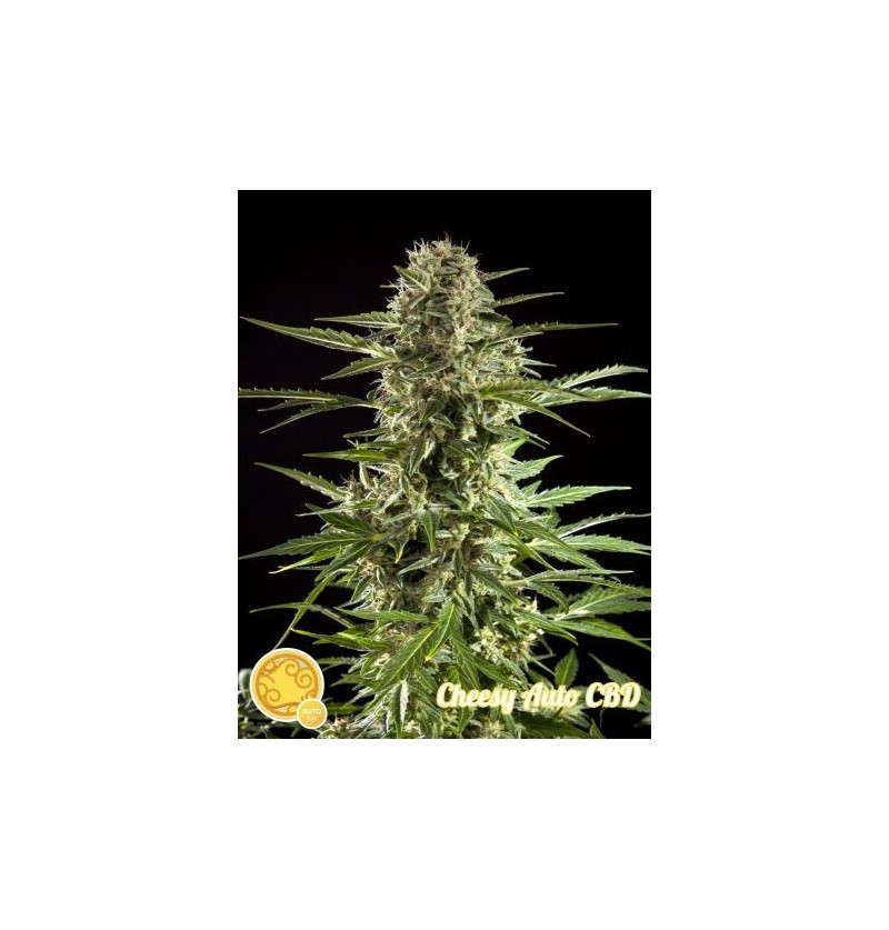CHEESY AUTO CBD PHILOSOPHER 25UN