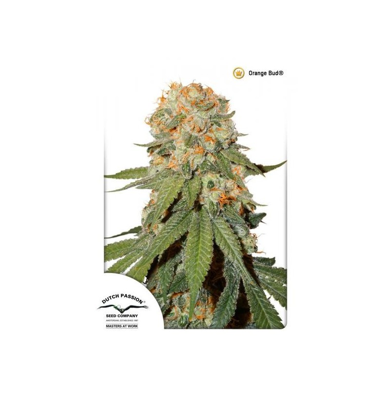 ORANGE BUD DUTCH PASSION REGULARES 10UN