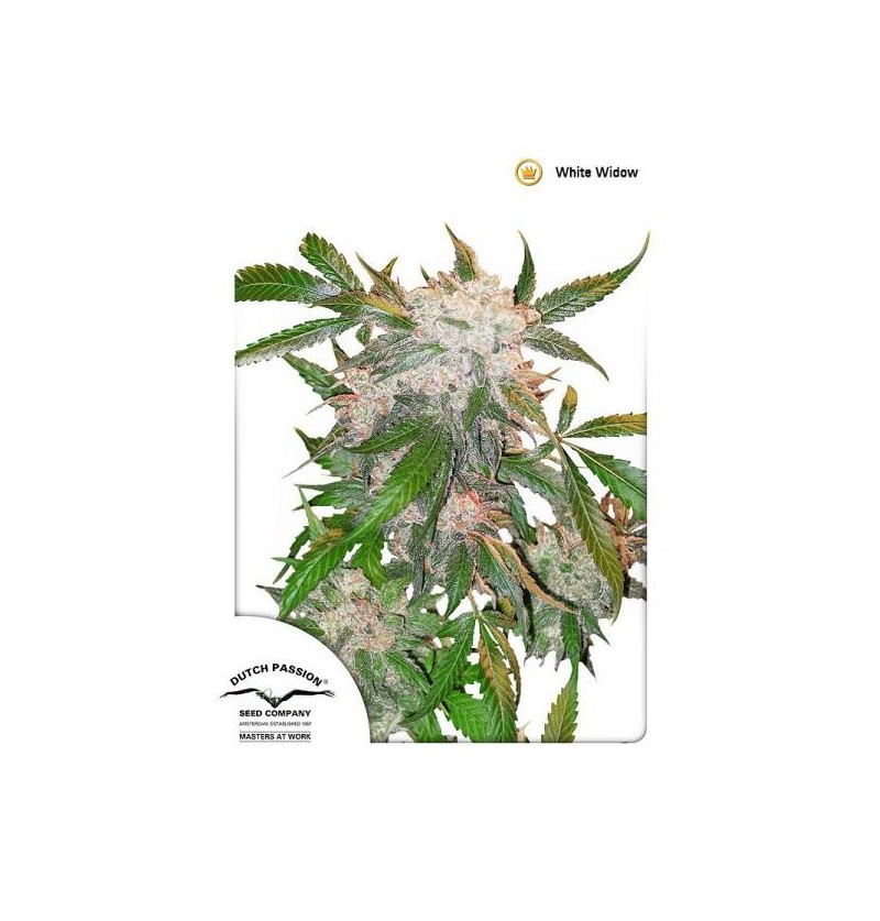 WHITE WIDOW DUTCH PASSION REGULARES 10UN